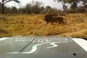EcoJourneys-Lion