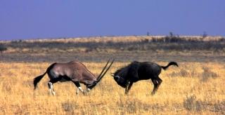 Gemsbok vs Wildebeest