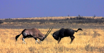 Gemsbok vs Wildebeest