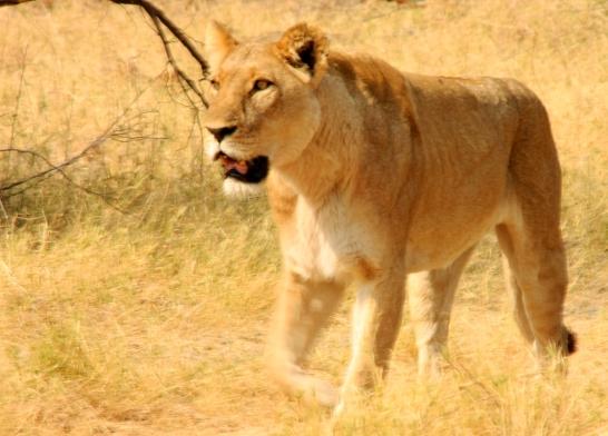 Lioness (1)