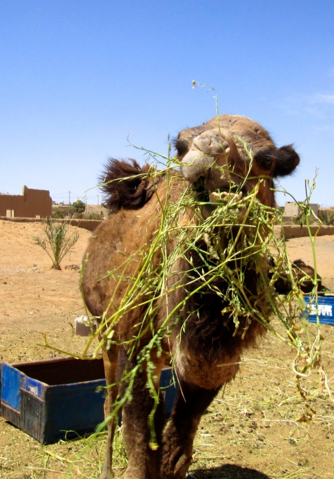 Feeding one of the camels Le Petit Princess uses for its overnight desert journeys.